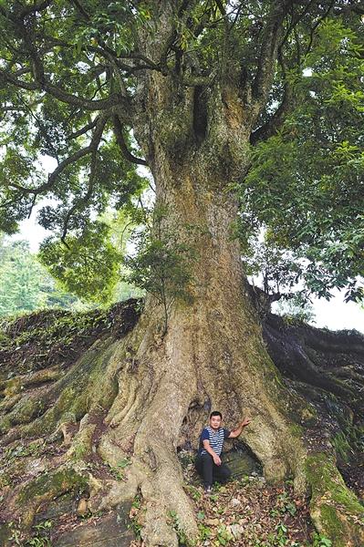 酉阳发现金丝楠木群 外地老板欲用22套房换8棵树